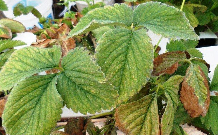 Порченные листья на фото