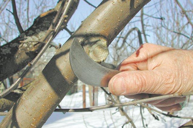 Как правильно прививать ветки винограда