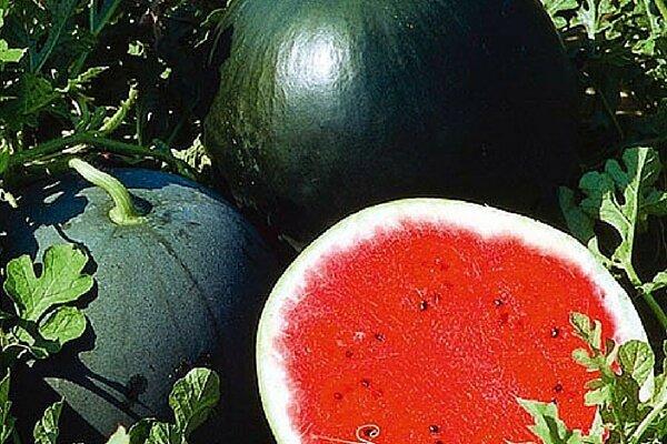 Сорта арбузов для Сибири