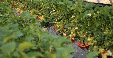 Финский метод выращивания клубники