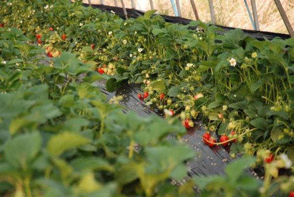 Выращивание клубники земляники пофинской технологии