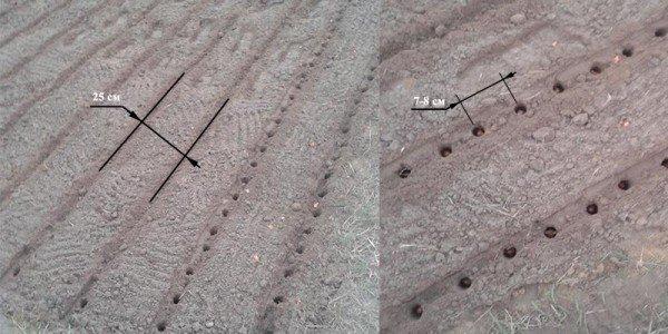 Как необходимо сделать грядки для посадки лука-севка