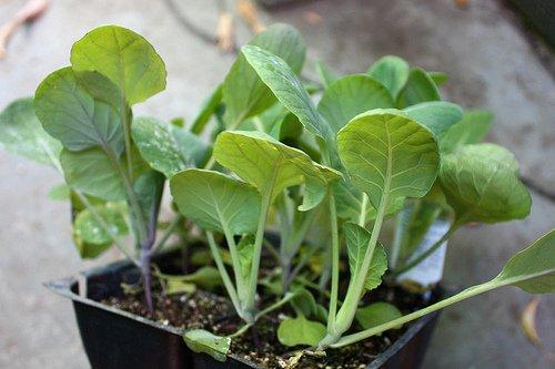 Первые ростки данного овоща
