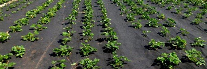 Правильная посадка ягоды под черную пленку