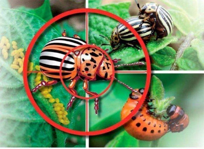 На фото жук и мишень