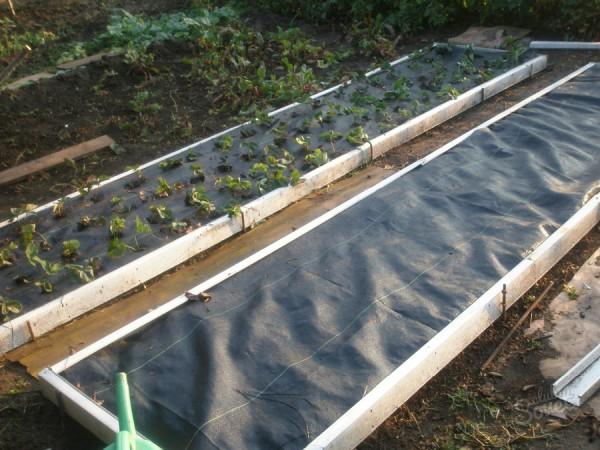 Клубника: выращивание на пленке и агроволокне