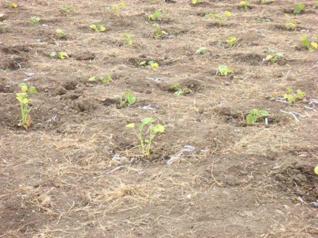 Как садить тыкву в землю
