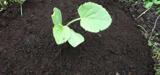 Как посадить рассаду в грунт
