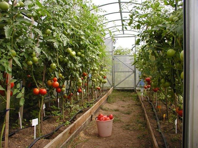 Высокие растения в теплице