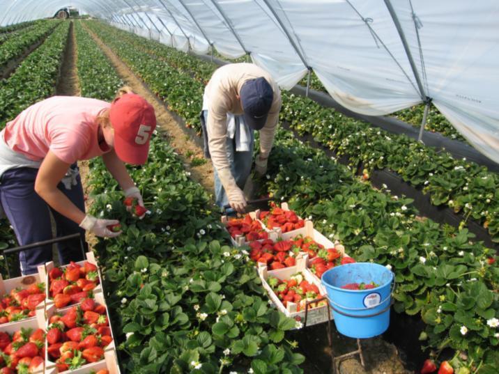 Женщины собирают урожай в парнике