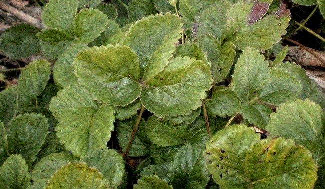 Порченные листья клубники фото