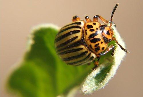 Крупный жук на листке