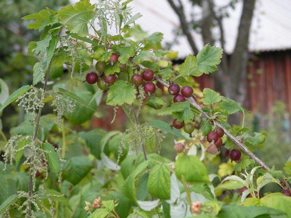 Подкормка подходит плодовым растениям
