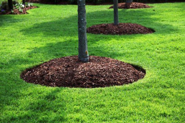 Как выглядит мульчирование деревьев