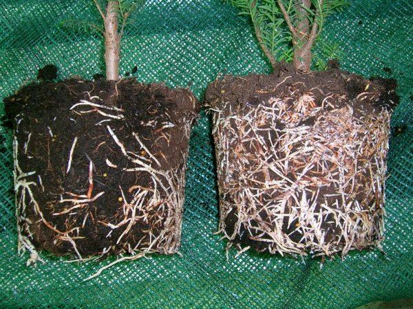 Удобрение ускоряет рост растений и их созревание