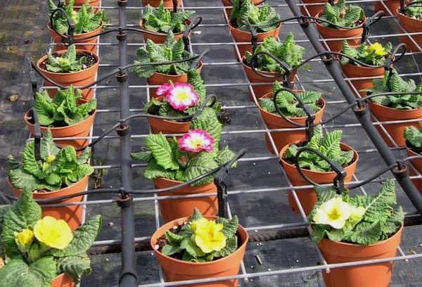 Капельный полив подходит любым растениям, даже цветам