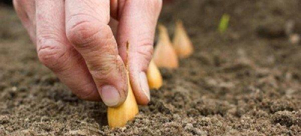 Посадка севка в открытый грунт
