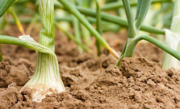 Уход за проросшим луком в открытом грунте
