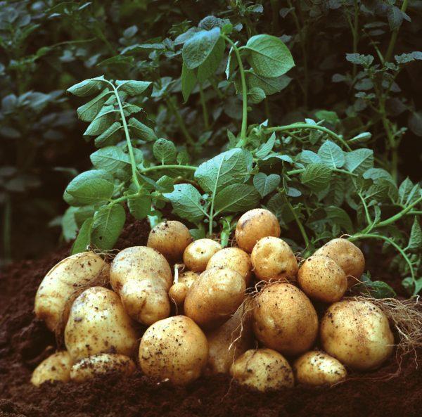 Для получения хорошего урожая важно придерживаться инструкции