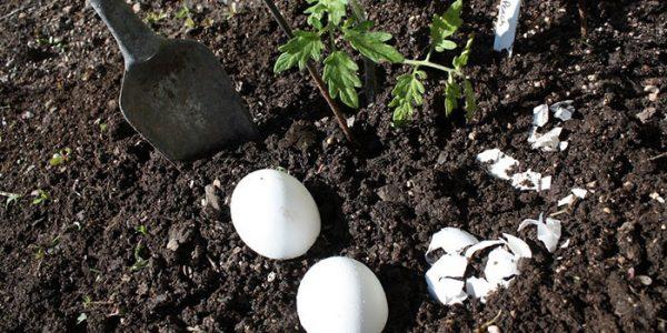 Удобрение из скорлупы можно использовать для всех видов растений
