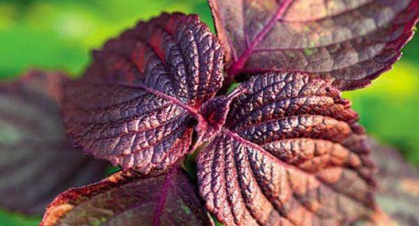 Листья фиолетового базилика крупным планом