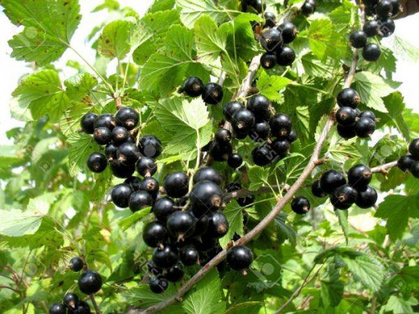 Подкормки благоприятно влияют на плодовые кустарники
