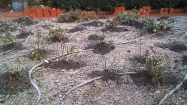 Некоторые огородники перемешивают пепел с пометом