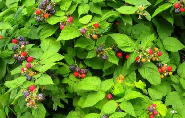 Для ежевики и малины садоводы рекомендуют использовать новоз