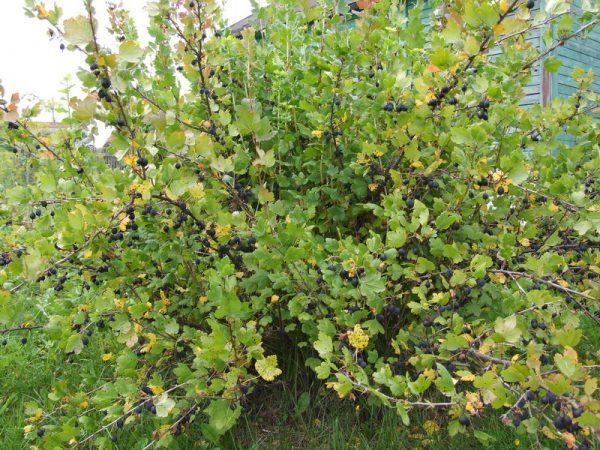 Удобрять крыжовник азотом следует в период интенсивного роста