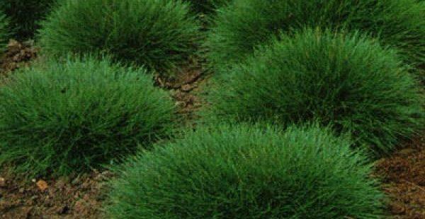 Часто декоративную траву сочетают с клумбами