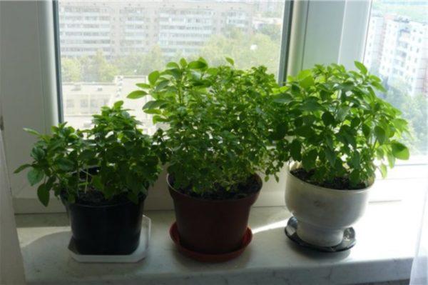 Полезное растение, которое может украсить любую квартиру
