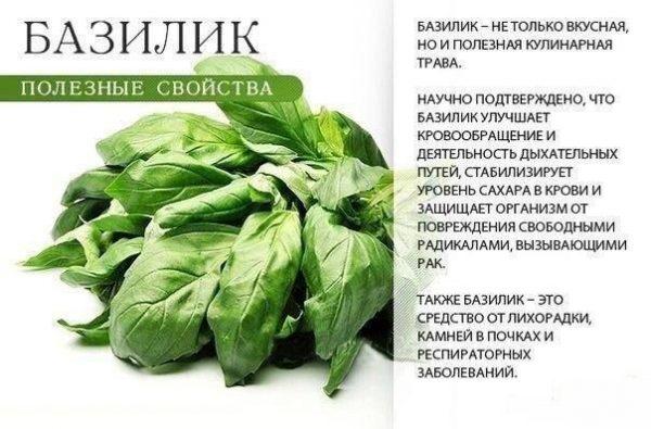 Полезные свойства базилика и его употребления в пищу