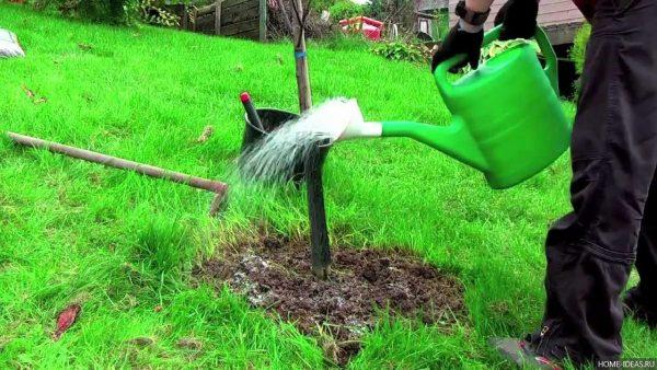 Полив деревьев с удобрениями благотворно влияет на плодотворность