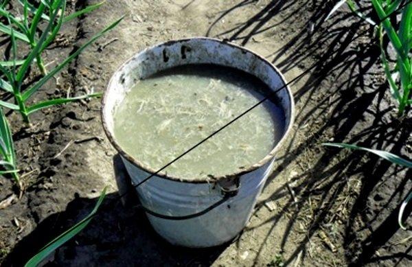Куриные отходы добавляют в компостный чай