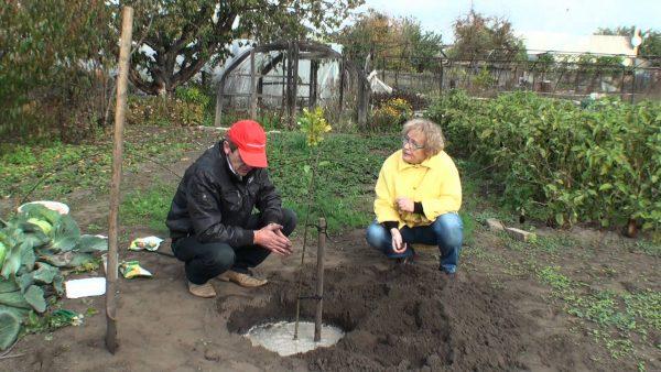 Многие заливают специальным раствором яму вокруг дерева