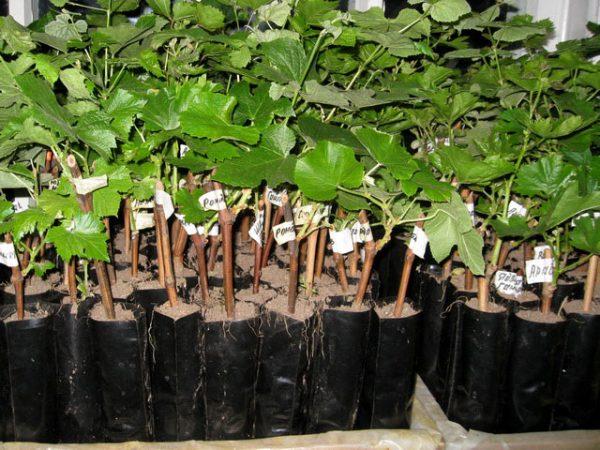 Без подкормки процент того, что растение не приживется увеличивается