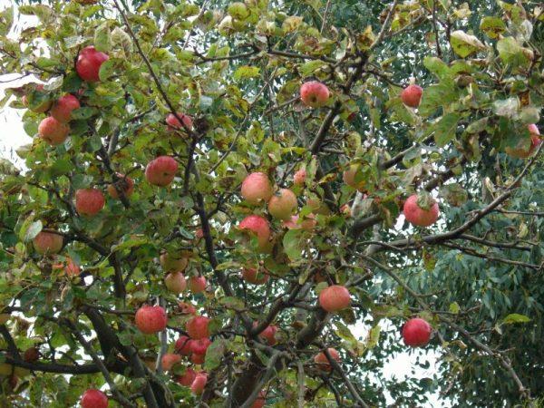 Оптимальное время для удобрения яблони - весна