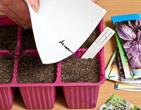 Также семенами размножают зелень на рассаду