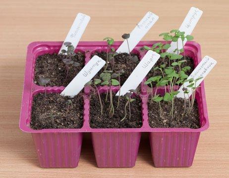 Выращивать зелень из семян можно и в горшках, в домашних условиях
