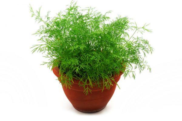 Часто зелень садят вместо декоративных растений