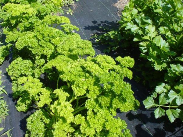 Зелень является очень плодовитым растением