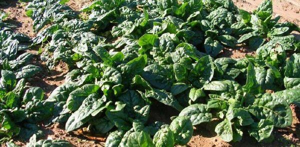Главное правило выращивания шпината - полив