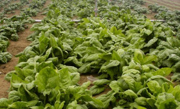 Зелень лучше садить отдельно от других растений, особенно декоративных