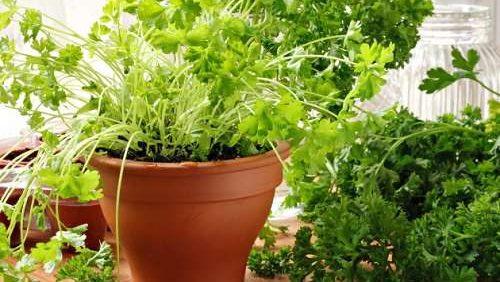 Выращивать дома можно не только кинзу