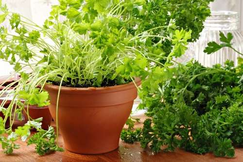 За зеленью легко ухаживать даже в домашних условиях