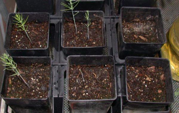 Выращивание данного растения - не самая простая задача