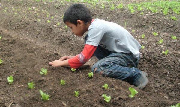 Уход за зеленью достаточно прост, с ним справится даже ребенок