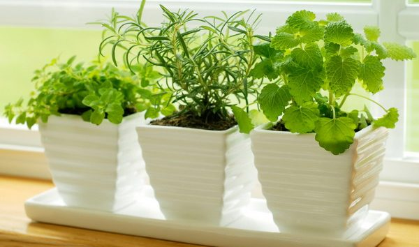 Многие выращивают тархун дома в горшках