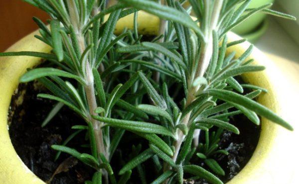 Душистое растение можно выращивать не только в саду, но и дома в горшке