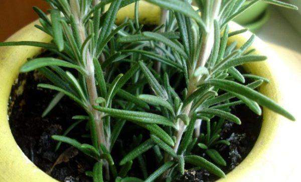 Как выглядит уже выросшее растение